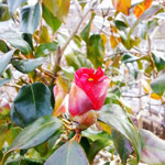 アトリエFoo*wa お庭の藪椿 茶花