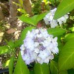 アトリエFoo*wa お庭の山紫陽花