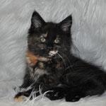 Hazel, solid tortie, female maine coon kitten