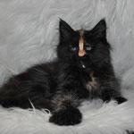 Cipher, solid tortie, female maine coon kitten