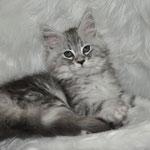 Taj, high silver classic tabby male maine coon kitten