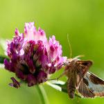 Messingeule (Diachrysia chrysitis) ist ein Schmetterling (Nachtfalter) aus der Familie der Eulenfalter (Noctuidae)