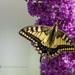 Schwalbenschwanz-(Papilio-machaon) am 14. Juli 2018