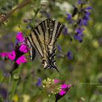 Segelfalter (Iphiclides podalirius) ist ein Schmetterling aus der Familie der Ritterfalter (Papilionidae)