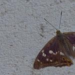 Große Schillerfalter (Apatura iris) ist ein Schmetterling (Tagfalter) aus der Familie der Edelfalter (Nymphalidae)