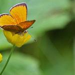 Dukatenfalter (Lycaena virgaureae) ist ein Schmetterling (Tagfalter) aus der Familie der Bläulinge. Am 29.7.2013 im Verwall. Ca. 1.500 m