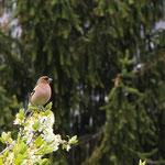 Buchenfink - Männchen