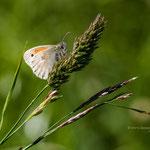 Kleines Wiesenvögelchen (Coenonympha pamphilus) auch Kleiner Heufalter 2