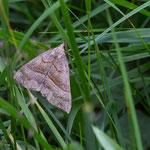 Habe grade erfahren dass dies eine Nessel-Schnabeleule_Hypena proboscidalis ist.