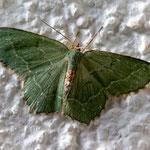 Gebüsch-Grünspanner (Hemithea aestivaria) ist ein Schmetterling (Nachtfalter) aus der Familie der Spanner (Geometridae)
