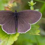 brauner_Waldvogel - Aphantopus hyperantus auch Schornsteinfeger