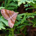Braunbinden-Wellenstriemenspanner (Scotopteryx chenopodiata) ist ein Schmetterling (Nachtfalter) aus der Familie der Spanner (Geometridae)
