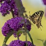 Schwalbenschwanz-(Papilio-machaon) am 12. Juli 2018