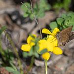 Kronwicken-Dickkopffalter (Erynnis tages) ein kleiner Schmetterling, ca 1,5 - 2 cm Spannweite. Leider fühlte er sich nicht sehr fotogen. Am 5. Mai 2018 in Landeck Perfuchsberg ca. 842 m gesehen.
