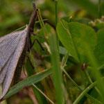 Polypogon tentacularia - Palpen-Spannereule
