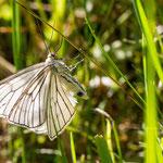 Hartheu-Spanner (Siona lineata) ist ein Schmetterling (Nachtfalter) aus der Familie der Spanner (Geometridae).