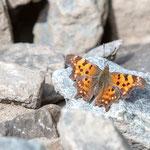 C-Falter (Polygonia c-album, Syn.: Nymphalis c-album) ist ein Schmetterling.  ebenfalls am 2. Mai 2018 in Landeck Perfuchsberg nähe dem Bahndamm auf ca. 840 m gesichtet.
