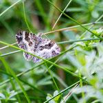 Graubinden-Labkrautspanner (Epirrhoe alternata) ist ein Schmetterling (Nachtfalter) aus der Familie der Spanner (Geometridae).