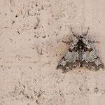 Pappel-Dickleibspanner (Biston strataria) ein Schmetterling (Nachtfalter)Familie der Spanner (Geometridae). Die Art wird auch als Pappelspanner bezeichnet. Am 20. April 2 18 in Zams an der Hauswand meiner Arbeitsstelle gesehen.