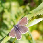 Violetter Waldbläuling- Polyommatus semiargus  am 28.05.2016 aufgenommen in der Pfundser Tschey ca. 1.650 m - Flügelspannweite ca. 2 cm.