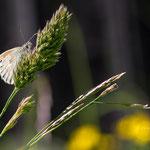 Kleines Wiesenvögelchen (Coenonympha pamphilus) auch Kleiner Heufalter 1