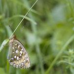 Großer Perlmuttfalter - Argynnis aglaja 24. Juli 2014 in Perfuchsberg