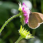 Schornsteinfeger_Brauner Waldvogel Aphantopus-huperantus