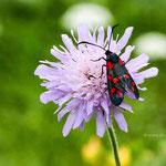 auch Blutströpfchen genannt, ist ein Schmetterling (Nachtfalter) aus der Familie Widderchen (Zygaenidae). Die Art wird auch als Sechsfleck-Rotwidderchen bezeichnet.