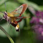 Hummelschwärmer (Hemaris fuciformis) - hat durchsichtige Flügel im Vergleich zum