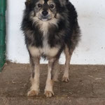 Rüde , klein, freundlich zurückhaltend ca. 3 Jahre Most friendly small sized fluffy boy.. simply perfect and would fit in any home. around 3 years