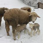 Winterschafe