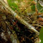 Kleine Seenadel (Syngnathus rostellatus)