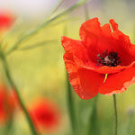 Spirit of Mohn