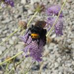 Dolchwespe (Magacolia maculata flavifrons)