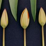 Tulpenfries. Gedacht als Bilderreihe
