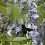 Holzbiene ( Xylocopa violacea)