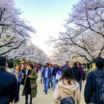 Cherry Blossoms in Ueno Park.