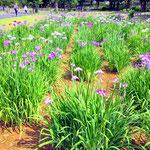 Iris Flowers at Mizumoto Park, Katsushika in July.