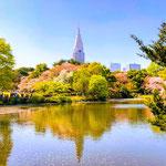 Shinjuku Gyoen Japanese Gardens in Spring.