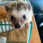 Cute Hedgehog at a Hedgehog Cafe, Akihabara.