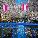 Cherry Blossoms along Meguro River in March.