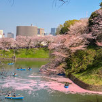Cherry Blossoms at Chidorigafuchi around Imperial Palace in March.