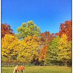 © Maike Stellbrink, Widdersberg, Herbstlaub, Haflinger auf Weide