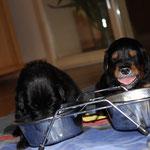 Enny-Lou und Lotta zeigen was sie davon halten beim essen gestört zu werden. Enny-Lou versetckt ihren Kopf in dem Napf und Lotta...