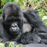 GORILLE DOS ARGENTÉ - VOLCAN KARISIMBI - RWANDA