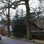 Melberstraße-Waldcasino: die letzten alten Bäume in Ringheim die es zu schützen gilt