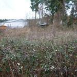 Nordring: gemeindliches Grundstück an der Obdachlosenunterkunft: auch Naturflächen bedürfen der Pflege.