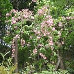 この季節の花たちです。タニウツギ