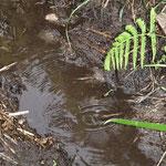 産卵するシオカラトンボのメス