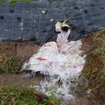 取水口整備(20170729)  水による浸食防止のため、ビニル袋を敷いた。水しぶきが上がる表面には、カワニナがびっしりくっついている。江浚いと草刈りを続けて、ようやくカワニナが増えてきた。